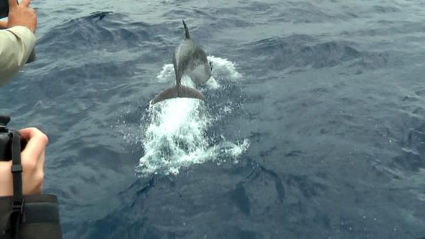Sao Miguel delfini