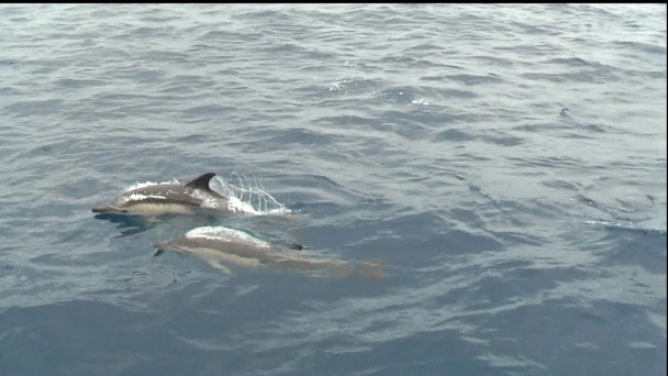 Sao Miguel delfíni v páru